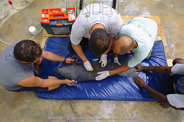 Antillean Manatee (Trichechus manatus manatus) young just rescued after stranding, getting a check-up from veterinarians, Brazil  -  Luciano Candisani