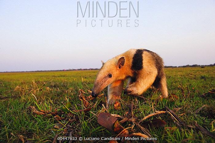 Southern Anteater (Tamandua tetradactyla) in grassland, Pantanal, Brazil  -  Luciano Candisani