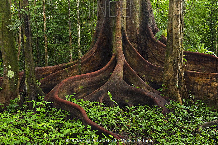 Buttress roots (Ficus sp.)in rainforest, Cocaya River, eastern Amazon, Ecuador  -  Pete Oxford