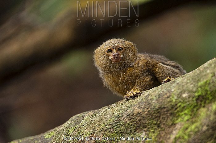 Pygmy Marmoset (Cebuella pygmaea) in rainforest, Cocaya River, eastern Amazon, Ecuador  -  Pete Oxford
