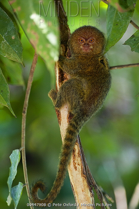 Pygmy Marmoset (Cebuella pygmaea), Napo River, Yasuni National Park in rainforest, Amazon, Ecuador  -  Pete Oxford