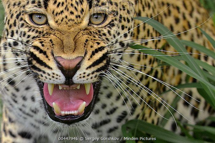 Leopard (Panthera pardus) snarling, Botswana  -  Sergey Gorshkov