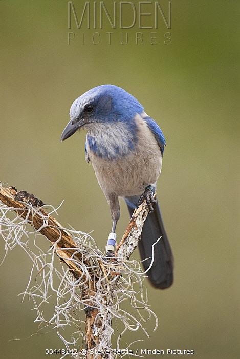 Florida Jay (Aphelocoma coerulescens), Oscar Scherer State Park, Florida  -  Steve Gettle