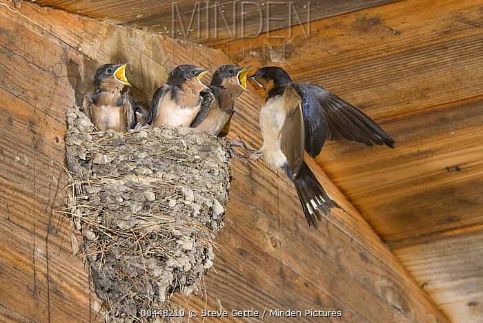 Barn Swallow (Hirundo Rustica) feeding chicks in nest, Michigan  -  Steve Gettle