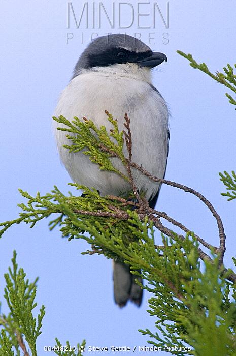 Loggerhead Shrike (Lanius ludovicianus), Merritt Island National Wildlife Refuge, Florida  -  Steve Gettle