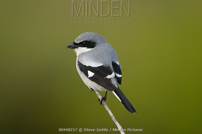 Loggerhead Shrike (Lanius ludovicianus), Merritt Island National Wildlife Refuge, Florida  -  Steve Gettle