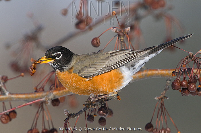 American Robin (Turdus migratorius) feeding on berry, Michigan  -  Steve Gettle