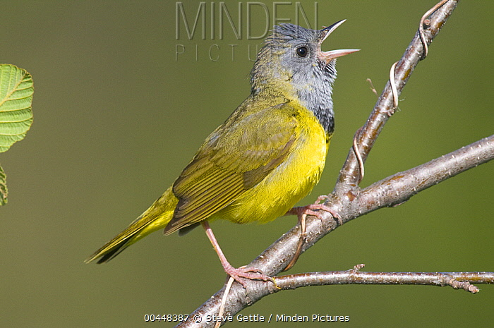 Mourning Warbler (Geothlypis philadelphia) calling, Rifle River Recreation Area, Michigan  -  Steve Gettle
