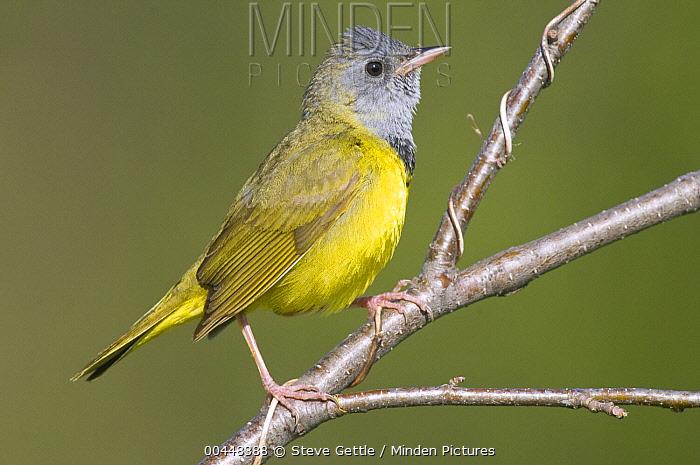 Mourning Warbler (Geothlypis philadelphia), Rifle River Recreation Area, Michigan  -  Steve Gettle