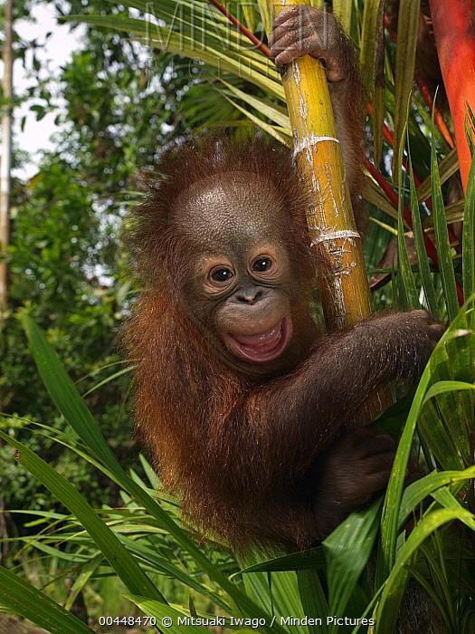 Minden Pictures - Orangutan (Pongo pygmaeus) young smiling while clinging  to bamboo, Borneo, Malaysia - Mitsuaki Iwago