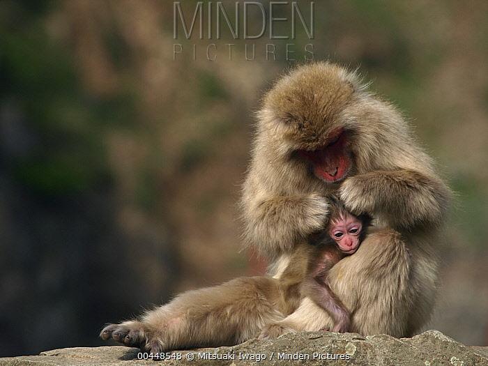 Japanese Macaque (Macaca fuscata) mother grooming young, Jigokudani, Japan  -  Mitsuaki Iwago