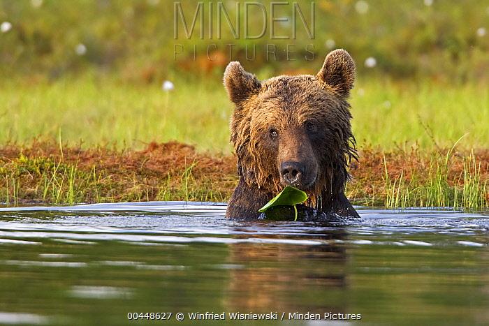 Brown Bear (Ursus arctos) holding water lily leaf, northeast Finland  -  Winfried Wisniewski