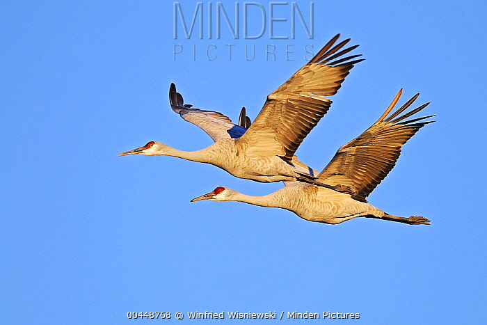 Sandhill Crane (Grus canadensis) pair flying, Bosque del Apache National Wildlife Refuge, New Mexico  -  Winfried Wisniewski