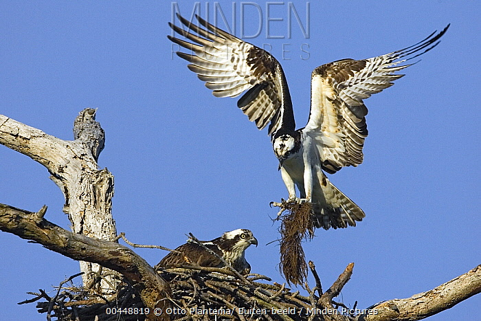 Osprey (Pandion haliaetus) landing on nest with nesting material, Florida  -  Otto Plantema/ Buiten-beeld