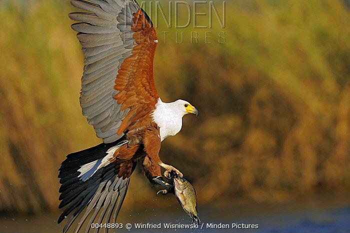 African Fish Eagle (Haliaeetus vocifer) carrying fish prey, Chobe National Park, Botswana  -  Winfried Wisniewski