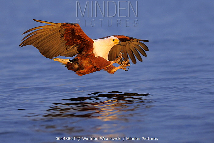 African Fish Eagle (Haliaeetus vocifer) hunting, Chobe National Park, Botswana  -  Winfried Wisniewski