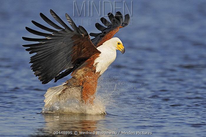 African Fish Eagle (Haliaeetus vocifer) striking at fish, Chobe National Park, Botswana  -  Winfried Wisniewski