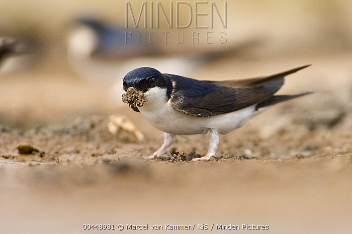 Common House Martin (Delichon urbicum) collecting mud for building a nest, Lauwersoog, Groningen, Netherlands  -  Marcel van Kammen/ NiS