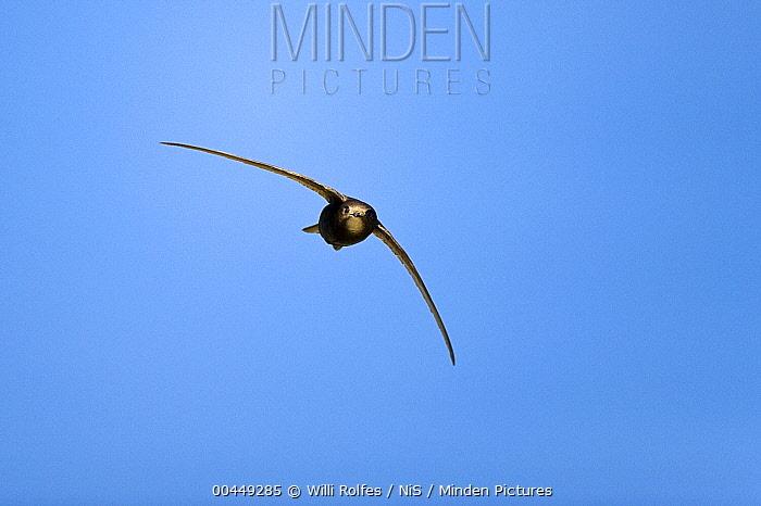 Common Swift (Apus apus) flying, Jasmund National Park, Mecklenburg Vorpommern, Germany  -  Willi Rolfes/ NIS