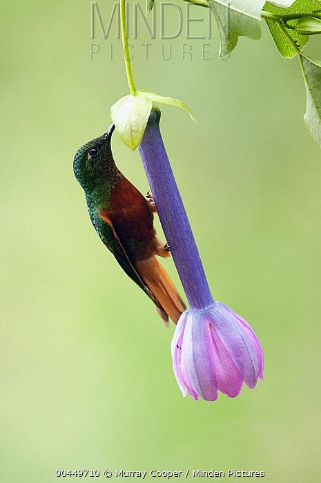 Chestnut-breasted Coronet (Boissonneaua matthewsii) feeding on flower nectar, Ecuador  -  Murray Cooper