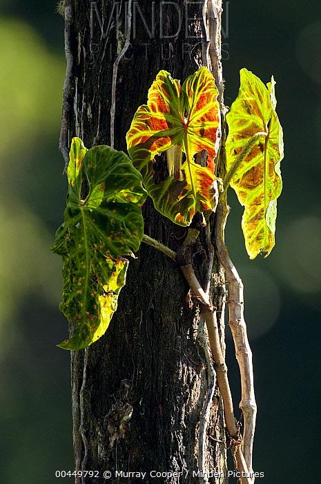 Arum (Araceae) leaves, Ecuador  -  Murray Cooper