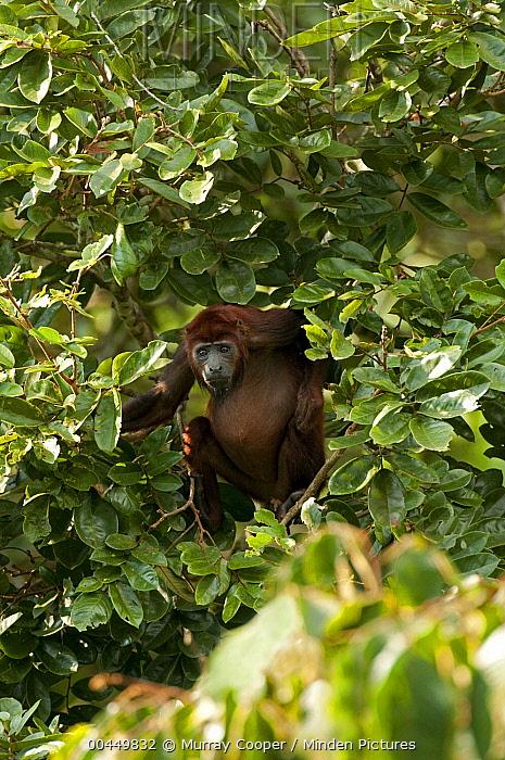 Mantled Howler Monkey (Alouatta palliata) in tree in lowland rainforest, Ecuador  -  Murray Cooper