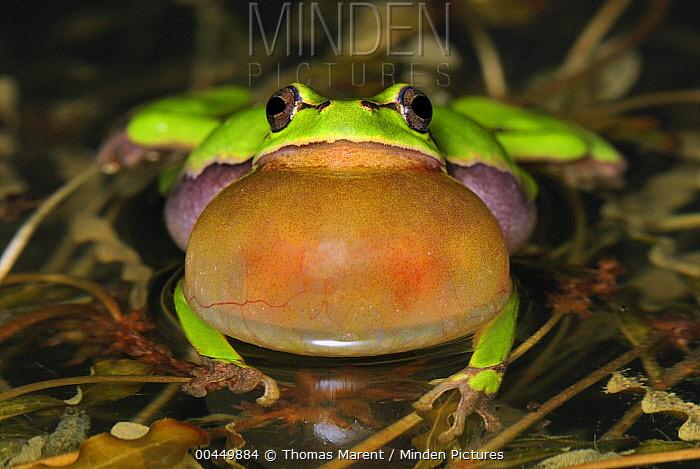 European Tree Frog (Hyla arborea) calling, Switzerland  -  Thomas Marent