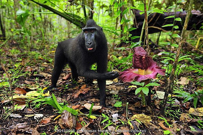 Celebes Black Macaque (Macaca nigra) feeding beside a Corpse Flower (Amorphophallus paeoniifolius), Tangkoko Nature Reserve, northern Sulawesi, Indonesia  -  Thomas Marent