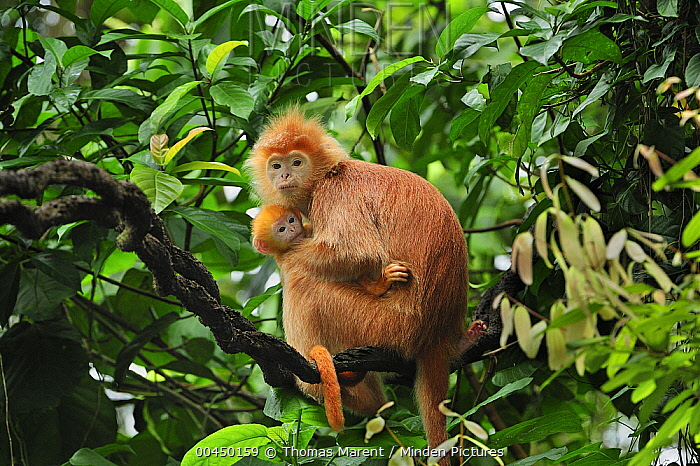 Ebony Leaf Monkey (Trachypithecus auratus), golden color variation, mother with baby, Java, Indonesia  -  Thomas Marent