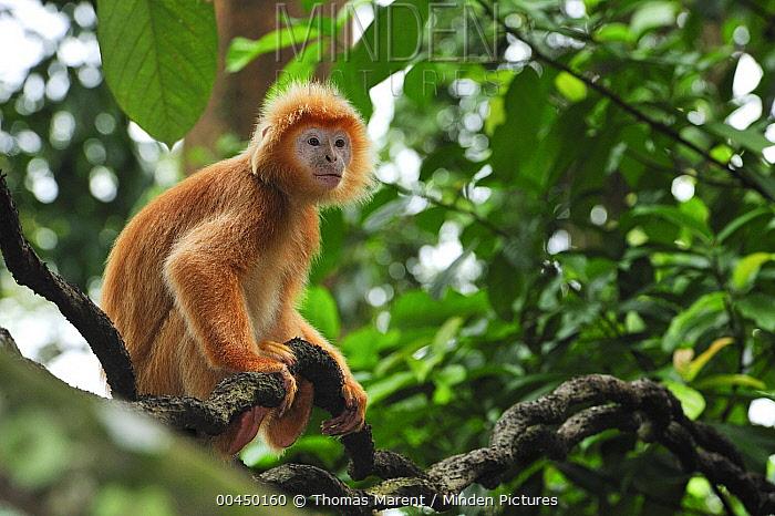 Ebony Leaf Monkey (Trachypithecus auratus) golden color variation on liana, Java, Indonesia  -  Thomas Marent