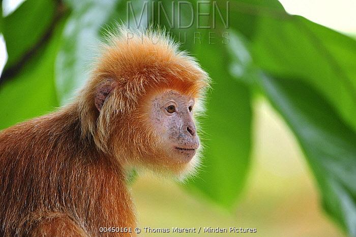 Ebony Leaf Monkey (Trachypithecus auratus) golden color variation, Java, Indonesia  -  Thomas Marent