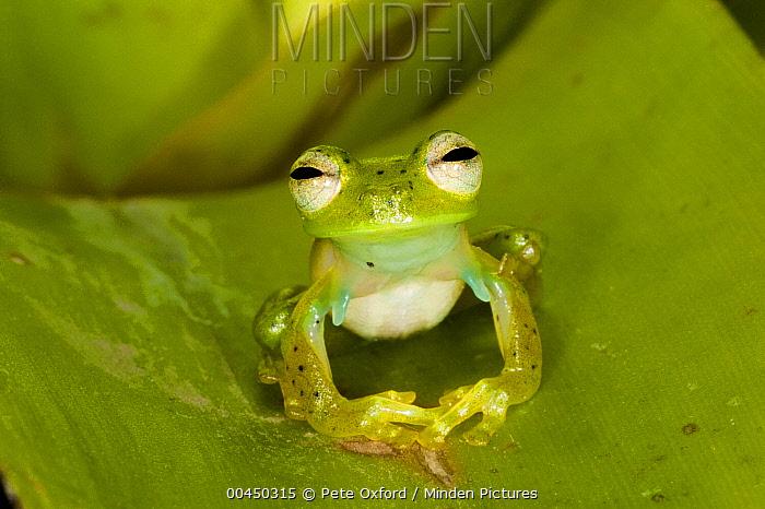 Emerald Glass Frog (Centrolene prosoblepon), northwest Ecuador  -  Pete Oxford