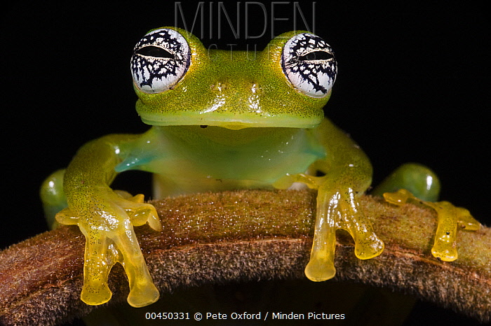 Glass Frog (Espadarana callistomma), northwest Ecuador  -  Pete Oxford