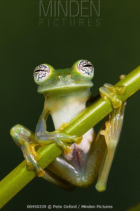 Glass Frog (Espadarana callistomma), northwest Ecuador  -  Pete Oxford
