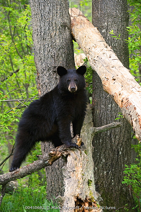 Black Bear (Ursus americanus) yearling cub in tree, Alaska  -  Mark Raycroft