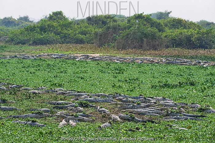 Spectacled Caiman (Caiman crocodilus) group resting on sandbanks, Pantanal, Brazil  -  Suzi Eszterhas