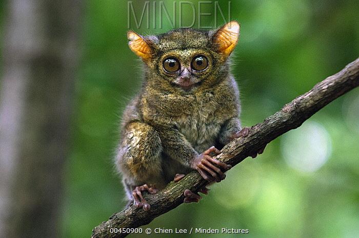 Spectral Tarsier (Tarsius tarsier), Tangkoko Nature Reserve, Sulawesi, Indonesia  -  Ch'ien Lee