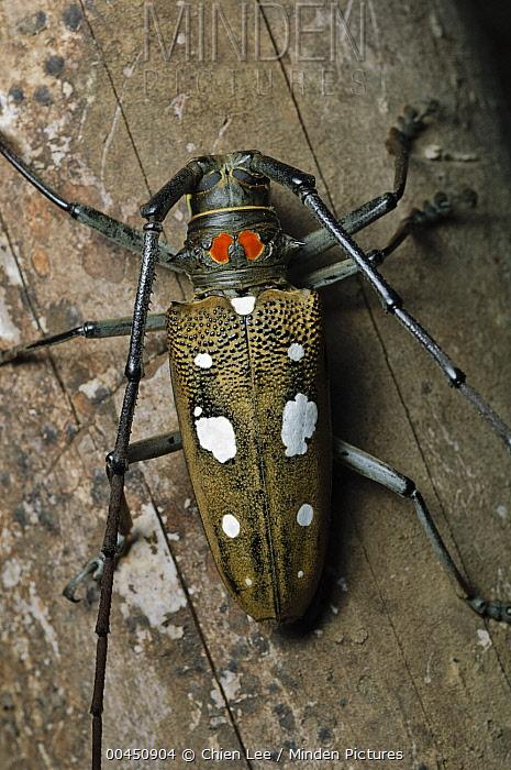 Horn Minden minden pictures stock photos horn beetle batocera sp