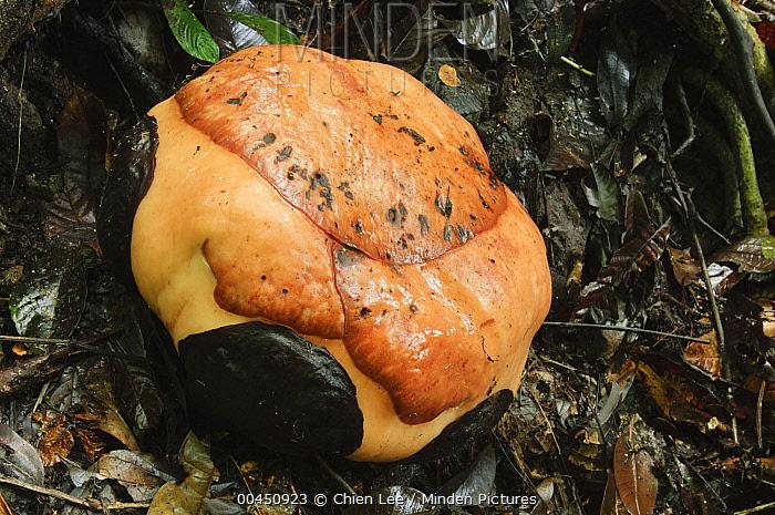 Rafflesia (Rafflesia tuan-mudae) bud, Gunung Braang, Padawan, Malaysia  -  Ch'ien Lee