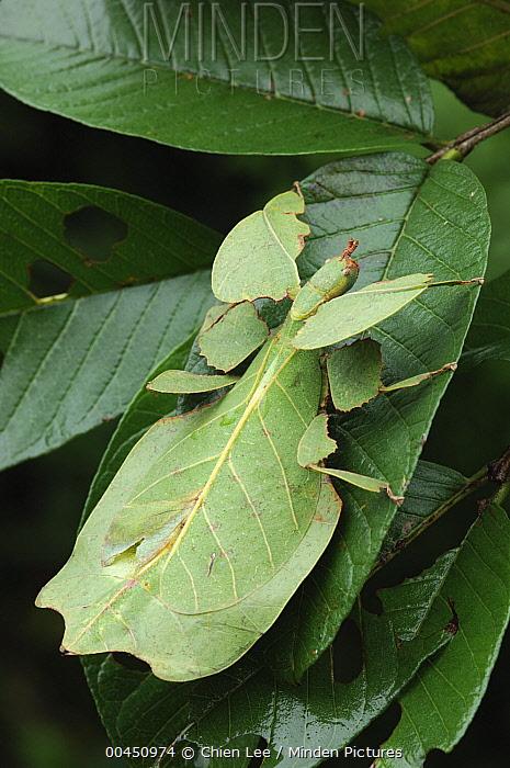 Javanese Leaf Insect (Phyllium bioculatum) mimicking leaf, Bogor, Indonesia  -  Ch'ien Lee