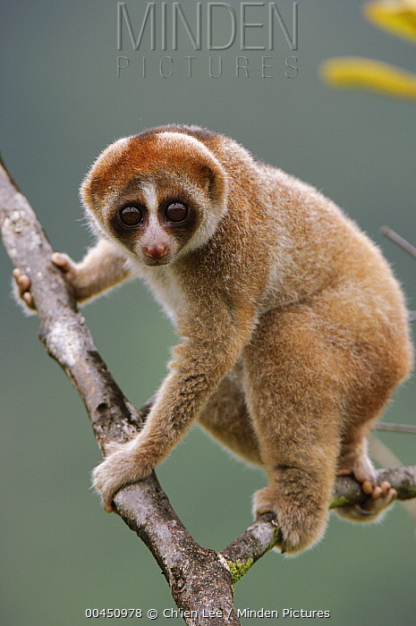 Slow Loris (Nycticebus kayan) climbing in tree, Bau, Malaysia  -  Ch'ien Lee