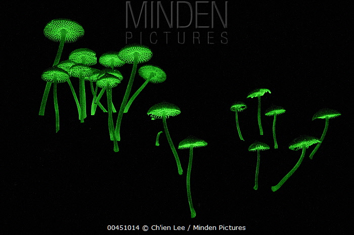 Gill Mushroom (Filoboletus sp) group with bioluminescence which serves to attract nocturnal insects that aid in spore dispersal, Bako National Park, Malaysia  -  Ch'ien Lee