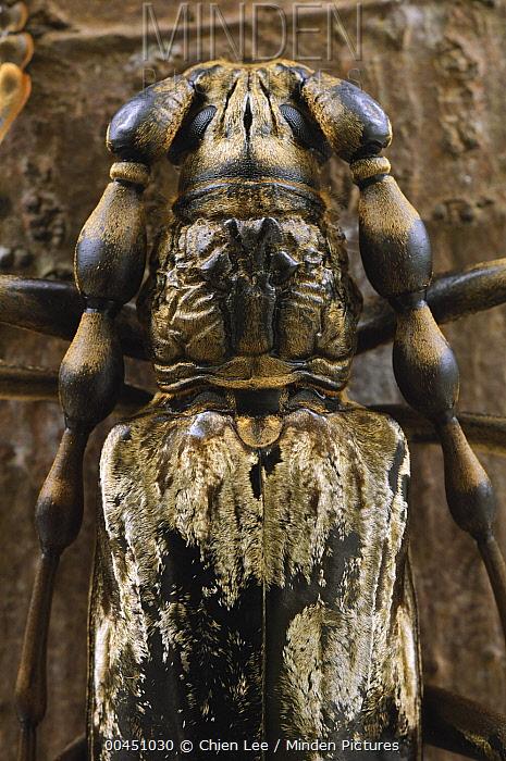 Horn Minden minden pictures stock photos horn beetle neocerambyx gigas