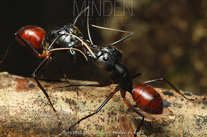 Giant Forest Ant (Camponotus gigas) pair from different colonies confront each other in a territorial display, Lambir Hills National Park, Malaysia  -  Ch'ien Lee