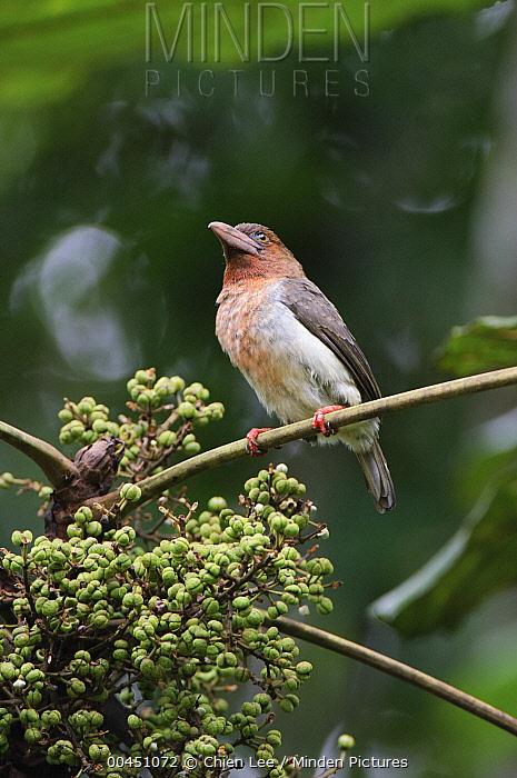 Brown Barbet (Calorhamphus fuliginosus), Kubah National Park, Malaysia  -  Ch'ien Lee