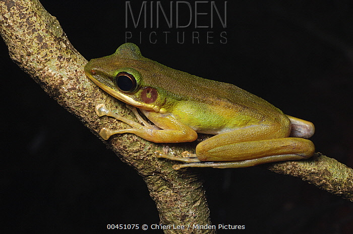 White-lipped Frog (Hylarana raniceps), Gunung Penrissen, Borneo, Malaysia  -  Ch'ien Lee