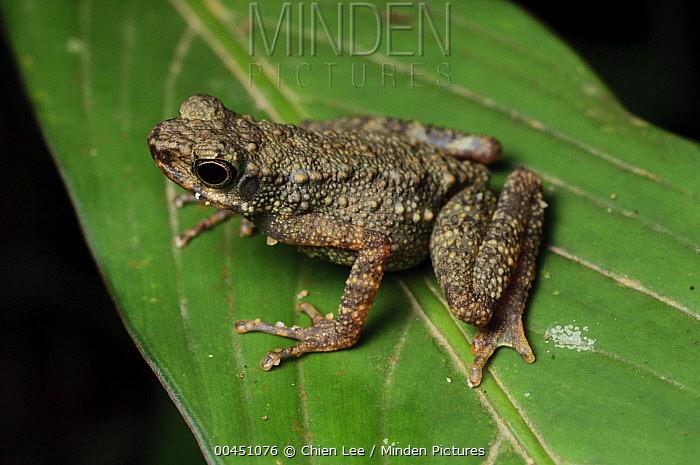 Dwarf Slender Toad (Ansonia minuta), Gunung Penrissen, Borneo, Malaysia  -  Ch'ien Lee