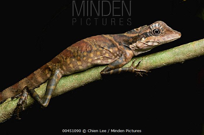 Bornean Crested Lizard (Gonocephalus grandis) female, Gunung Gading National Park, Malaysia  -  Ch'ien Lee