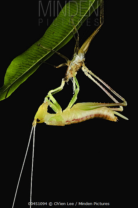 Katydid (Tettigoniidae) nymph emerging from its old skin, Gunung Gading National Park, Malaysia  -  Ch'ien Lee