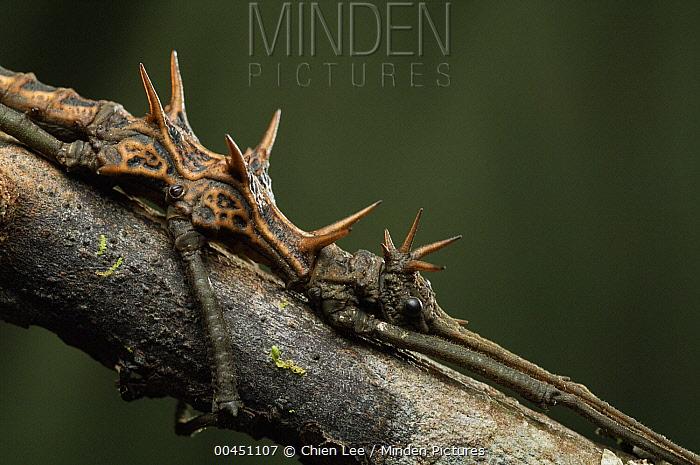 Stick Insect (Dares ulula) male, Bukit Sarang Conservation Area, Bintulu, Borneo, Malaysia  -  Ch'ien Lee